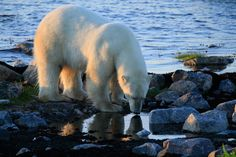 Pure. Clean. Water. Polar bear drinks from Hudson Bay outside Seal River Heritage Lodge. Photo by Tiffany O'Brian.