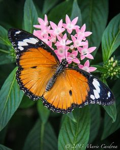 African Monarch - Danaus chrysippus ~ Photo by Marie Cardona Types Of Butterflies, Beautiful Butterflies, Beautiful Birds, Beautiful Gardens, Animals Beautiful, Beautiful Things, Butterfly Kisses, Butterfly Flowers, Butterfly Wings