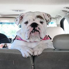 """256 Beğenme, 4 Yorum - Instagram'da bulldog pets (@bulldog.pets2): """"Check out our store for the best Bulldog designs  CLICK the link in our bio @bulldogdays Made…"""""""