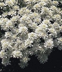 Snowflake Candytuft flowers blooming in the spring garden. Seed from Hardy Plants; Perennial Ground Cover, Ground Cover Plants, Easy Garden, Lawn And Garden, Growing Flowers, Planting Flowers, Flower Seeds, Flower Pots, North Facing Garden