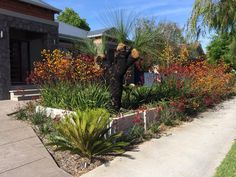 Native Australian Plants. Kangaroo Paws and Grass Tree. Landscape Design. Native Garden. Perth, WA