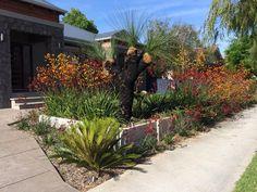 Native Australian Plants. Kangaroo Paws and Grass Tree. Landscape Design. Native Garden. Perth, WA
