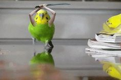 The Attack of The Budgie Source: Know Your Meme  http://knowyourmeme.com/