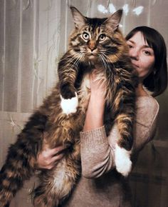 Maine Coon Cat Gallery - Cat's Nine Lives Kittens And Puppies, Cats And Kittens, Siamese Cats, Big House Cats, Chat Maine Coon, Siberian Cats For Sale, Huge Cat, Gato Grande, Photo Chat