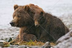 Types of Grizzly Bears. Grizzly bears are brown bears and many do not know that grizzly bears are officially defined as any North American brown bears. Grizzly Bear Cub, Bear Cubs, Baby Bears, Bear Images, Bear Pictures, Forest People, Parda, Big Teddy Bear, Alaskan Bush People