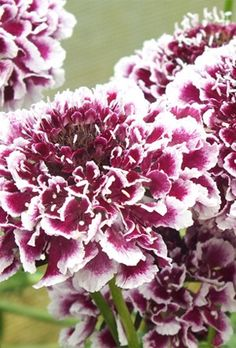 Scabiosa Cherry Vanilla Scoop offers a fantastic floral display in your garden. The many-petallled, carnation-like blooms are attractive to pretty butterflies adding life and that extra dimension to your garden for a real feel-good factor. Scabiosa Columbaria, Magenta, Purple, Pink, Carnations, Colour Schemes, Beautiful Gardens, Boho Chic, Vanilla