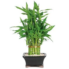 Brussel's Bonsai Lucky Bamboo- Pyramid 2 Tier in Clay Planter at Lowe's. Bring good cheer and luck into your home or office with this live Lucky Bamboo plant. Even if you're not much of a green thumb, you can keep this indoor Lucky Bamboo Care, Lucky Bamboo Plants, Bamboo Tree, Podocarpus Bonsai, Window Plants, Plant Delivery, Gift Delivery, Best Indoor Plants, Succulent Care