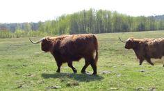 Schotse Hooglanders Witteveen
