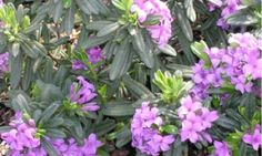 lawrence_crocker Daphne - small for my garden - winter blooming very fragrent