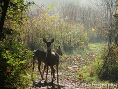 Two young deer, startled on a hiking trail, in the woods of an Ohio park on a foggy autumn morning.