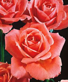Large-Flowered Rose 'Betty Uprichard' | Roses from Bakker Spalding Garden Company