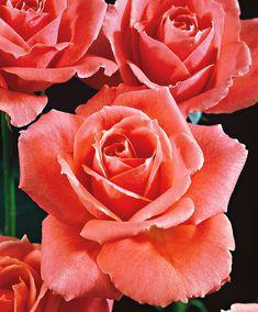 Large-Flowered Rose 'Betty Uprichard' - Shrub