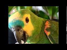 ♡ Papagaio   Comendo tapioca ♡