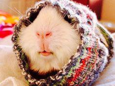 guinea pig in sleeve