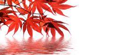 Autumn Foliage, Acer palmatum