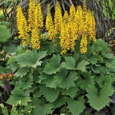 'Bottle Rocket' - Ligularia hybrid - Perennial that does well in shade. Zones 4-9