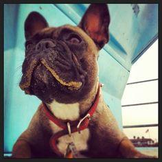 @ stellatheprettyfrenchie #frenchie #dog