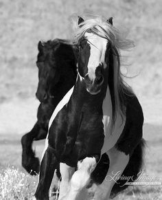 These two stallions, the Friesian and the Gypsy Vanner are young and have grown up playing together, the best of friends  www.LivingImagesCJW.com