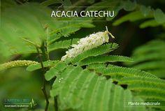 Specialistii sustin ca planta Acacia catechu contine anumite substante ce au capacitatea de a reduce inflamatiile, precum si de a combate bacteriile din organism -   http://www.i-medic.ro/plante/acacia-catechu