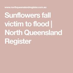Sunflowers fall victim to flood | North Queensland Register