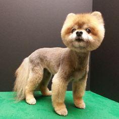 Pomeranian haircut on Pinterest | Pomeranians, Haircuts and Teddy ...