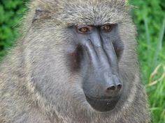 A baboon on our way to Fort Portal, Uganda.