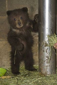 cute animal pictures. awesome little bear.