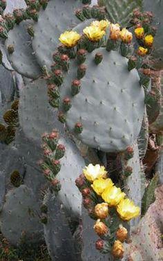 Cactus Opuntia Robusta