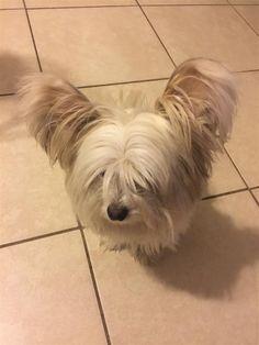 Found Dog - Maltese - Pembroke Pines, FL, United States