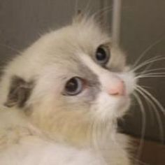 Kitzel is an adoptable Ragdoll Cat in Bridgewater, NJ. Kitzel is a special boy whose life was not always as easy. He is a Ragdoll mix. He was rescued from a hoarder. He was kept in a basement, badly m...