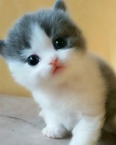 Baby Animals Super Cute, Cute Baby Dogs, Cute Cats And Kittens, Baby Cats, Fluffy Kittens, Kittens And Puppies, Kittens Playing, Adorable Kittens, Fluffy Cat