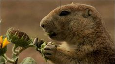 With a single bark, a prairie dog may warn about the type and direction of an encroaching predator, and even describe its colour.