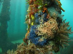 Colorful diversity: a basket star (Astroboa ernae) shares a pylon with a colony of ascidians (Clavelina moluccensis) as well as a multitude of other species, Stenhouse Bay, South Australia. ©Daniel Gorman