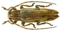 Family: Cerambycidae Size: 10.5 mm Location: Malaysia, Penang det. Breuning, 1939 Type, Coll. Museum of London Photo: U.Schmidt, 2009