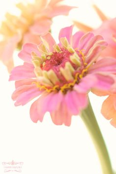 Zinnia; the only flower that can make it in this HOT HEAT of a Texas Summer