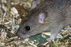 Contact Mega Pest Control services if you are looking for a trusted and effective rat control services in Surrey, Abbotsford, Langley and White Rock. We are leader in market in offering the best rat control services in an effective way. Keep Mice Away, How To Deter Mice, Indiana, Rat Control, Mice Repellent, Getting Rid Of Mice, Bees And Wasps, Mouse Traps, Garden Guide