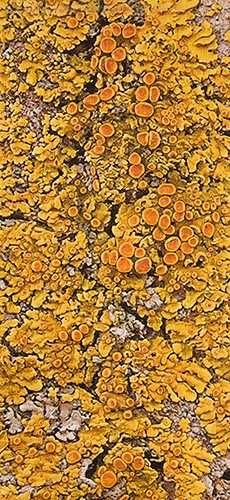 Lichen, from tree bark on the prairies Patterns In Nature, Beautiful Patterns, Textures Patterns, Slime Mould, Mushroom Fungi, Deco Floral, Tree Bark, Artist Gallery, Natural Forms