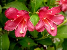Weigela florida 'Red Prince'	RED PRINCE WEIGELA	 deciduous flowering  shrub	Full sun	10 year size: 6'Hx4'W	Arching upright	Bright red trumpet shaped flowers	Late spring bloom	FOLIAGE:  Green 	FALL: Often re-blooms	Attracts hummingbirds	Moist well drained soil	Prune after flowering