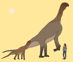 Adult and juvenile Atlasaurus dinosaurs in scale with a modern-day person. This species of plant-eating dinosaur had some of the oddest leg and neck proportions in its lineage.