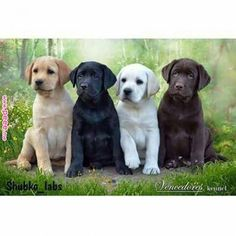 Mind Blowing Facts About Labrador Retrievers And Ideas. Amazing Facts About Labrador Retrievers And Ideas. Perro Labrador Retriever, Chocolate Labrador Retriever, Retriever Puppy, Dogs Golden Retriever, Labrador Dogs, Black Labrador, Yellow Labrador Retrievers, Havanese Dogs, Black Lab Puppies