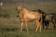 """""""Golden"""" Wildebeest - photo by Quaggasfontein (in Colesberg, South Africa);  This is their breeding bull, """"Hector.""""  These wildebeest have a golden brown color."""