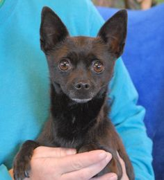 Charlie is an especially earnest little boy craving love and attention.  He watches you carefully to learn everything about you.  Charlie has the handsome appearance of a tiny fox and he is a Chihuahua, neutered, about 4 years of age, debuting for adoption today at Nevada SPCA (www.nevadaspca.org).  Charlie is great with dogs and reportedly crate-trained and compatible with cats and mature kids too.