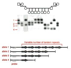 Diagram showing the inheritance pattern of a VNTR or STR in a human family Genetic Variation, Variables, Genetics, Diagram, Math Equations, Pattern, Patterns, Model, Pattern Print