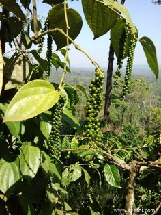Coffee Plant at Coorg, Chelavara