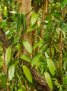 Photo about Vanilla plant and green pod in the forest. Image of healthy, flavor, green - 37428437 Vanilla Plant, Vanilla Orchid, Grow Vanilla Beans, Bean Plant, Botanical Flowers, Architecture Photo, Plants, Dart Frogs, Photography
