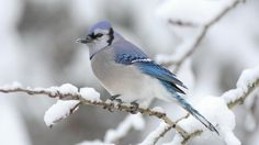 Pretty Blue Bird, Perched On A Tree On A Winters Day.