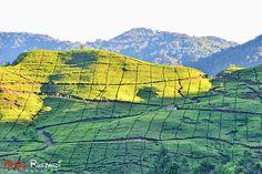 Discover the Tea Plantation at Cipanas, West Java. #indonesia #java  #javagreentea