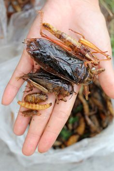 a typical array of edible insects that are available at markets in Thailand...They are all prepared in a very similar fashion, deep fried to a crisp and nicely salted.