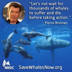 The Navy's reckless plan for training with sonar and explosives will put thousands of marine mammals in imminent jeopardy. Join Pierce Brosnan and call on Defense Secretary Hagel to put safeguards in place that will protect our planet's whales!       Take Action: https://secure.nrdconline.org/site/Advocacy?cmd=display=UserAction=3053