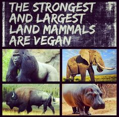 the strongest and largest land mammals are #vegan #plantbased diets